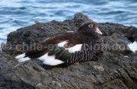 Faune aviaire, alentours de Punta Arenas
