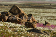 Désert fleuri, Atacama
