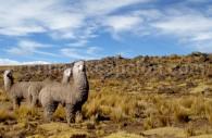 Alpaca Huacaya, Chili