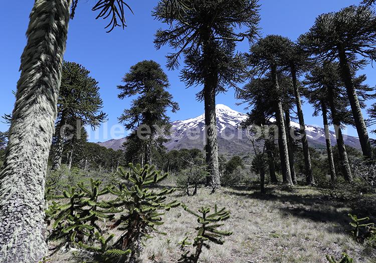Araucaria, arbre du Chili