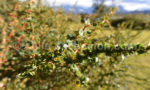 Berberis à feuilles de buis