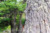 Conure magellanique, Chili