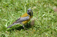 Phrygile de Patagonie – Cometocino Patagónico, découvrir la faune aviaire du Chili