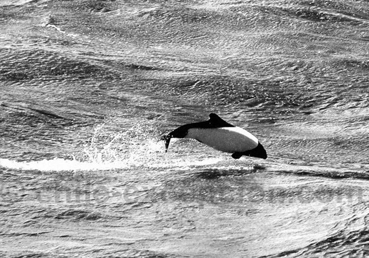 Dauphin du Chili © TomaB