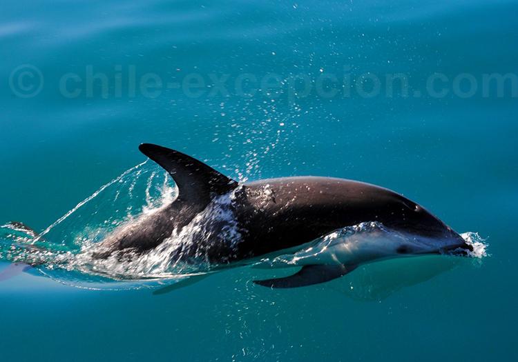 Dauphin obscur ou dauphin de Gray
