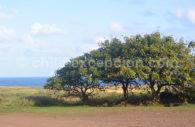 Erythrine, arbre deu Chili