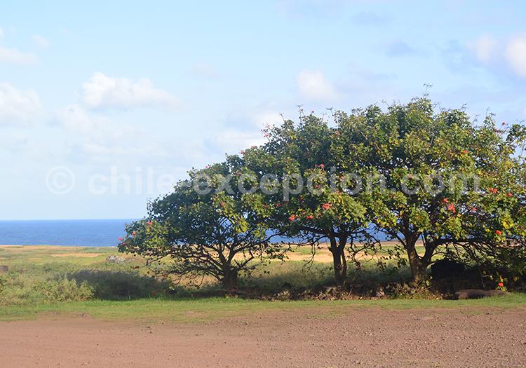 Erythrine, arbre du Chili