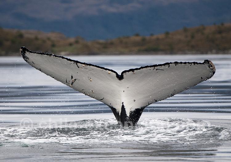 Excursion nautique baleines, parc Francisco Coloane