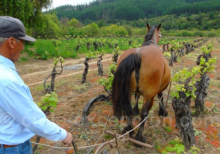 Histoire du vin chilien