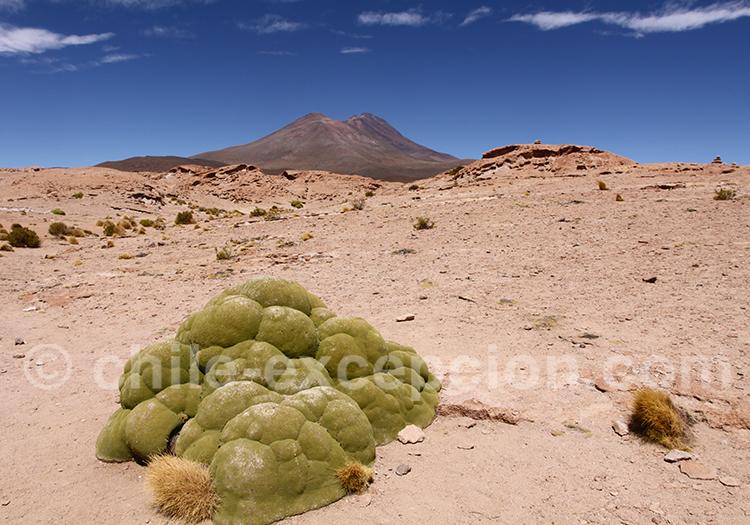 Volcan Ollagüe, premier plan, plante yareta (ou llareta)