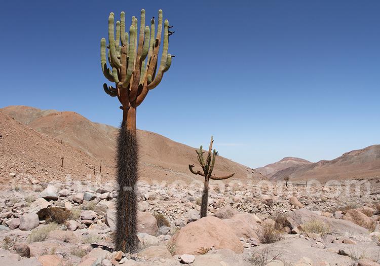 Cactus candelabre, route de Putre