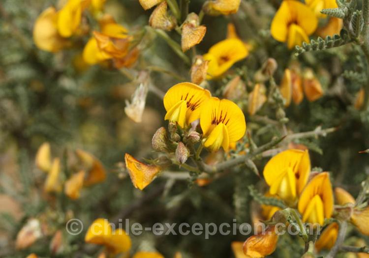 Paramela, adesmia miraflorensis