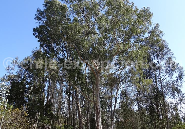Eucaliptus, arbre du Chili