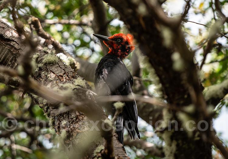 Pic de Magellan, Campephilus magellanicus, estancia Bahia Esperanza
