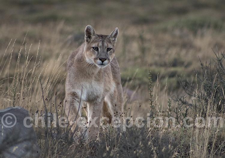 Puma, avec l'agence de voyage Chile Excepción