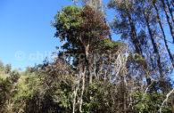 Bois de Panama – Quillay