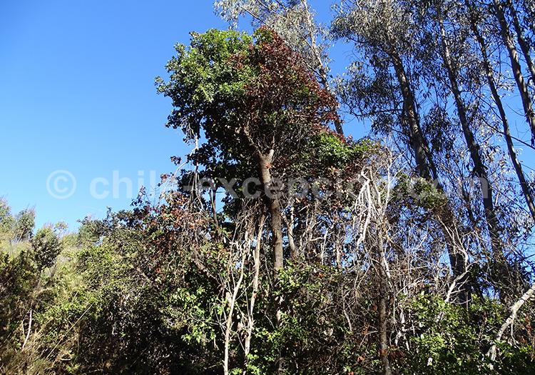 Bois de Panama – Quillay avec l'agence de voyage Chile Excepción