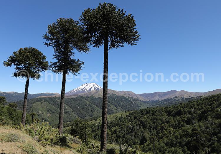 Réserve Malalcahuello et volcan Lonquimay