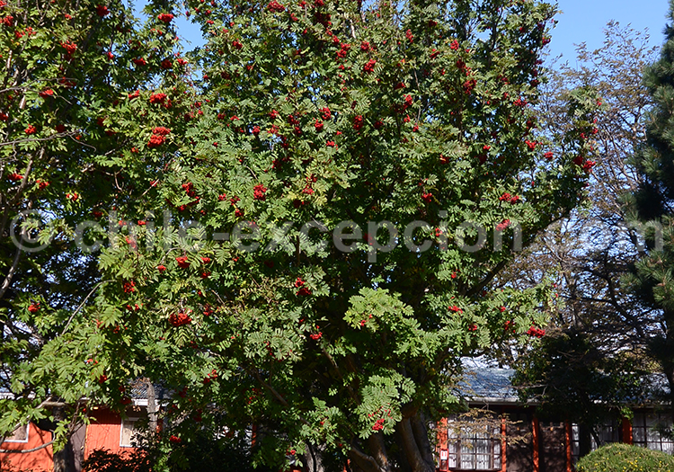 Sorbier, arbre du Chili