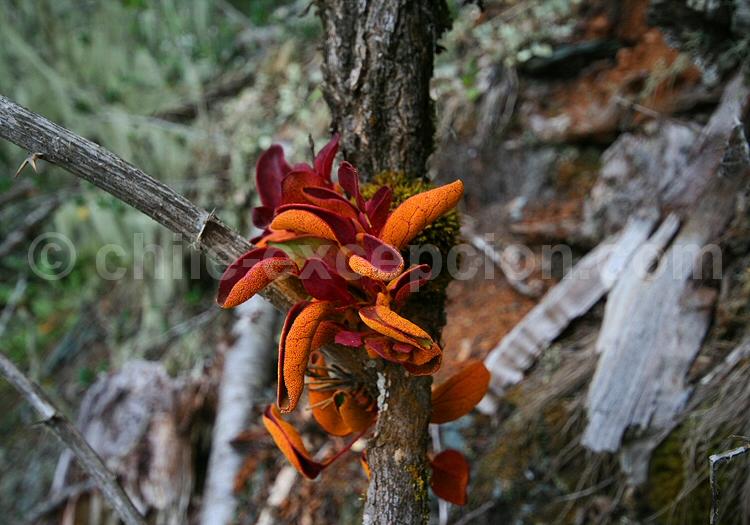 Aecidium magellanicum - crédit Pascale Pengam