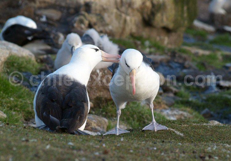 Albatros à sourcils noirs. ©Peter Akers