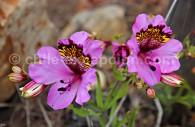 Alstroemeria magnifica - crédit Pascale Pengam