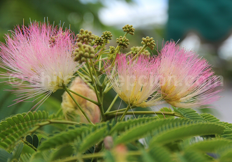 Arbre de soie ou Árbol de la seda © Pascale Pengam
