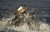 Baleine à bosse, Ballena Jorobada, Océan Antarctique. ©Martin Enckell