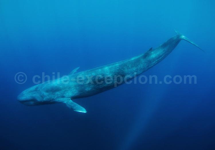 Baleine Bleue © Scubazoo