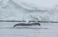 Baleine franche, Ballena franca austral