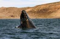 Baleine franche australe, Ballena franca austral. Crédit Ann Van Rossem
