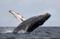 Baleine à bosse, Ballena jorobada. Crédit Kurt Cotoaga
