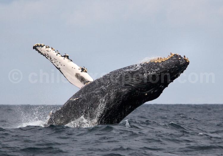 Baleine à bosse, Ballena jorobada © Kurt Cotoaga
