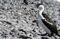 Cormoran de Bougainville, île de Ross, Antarctique. ©Angela Phangsoa