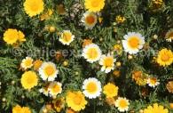 Crisantemo silvestre - crédit Pascale Pengam