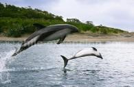 Dauphin de Peale, Delfin austral. Crédit Evelyn Pfeiffer