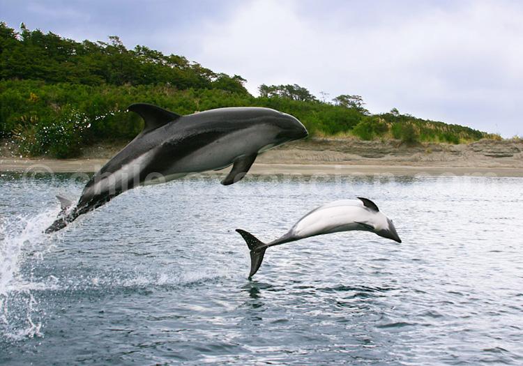 Dauphin de Peale, Delfin austral © Evelyn Pfeiffer
