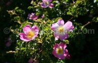 Eglantier ou Rosa Mosqueta - crédit Pascale Pengam