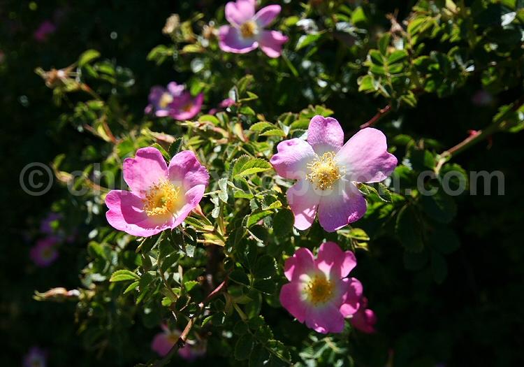 Eglantier ou Rosa Mosqueta © Pascale Pengam