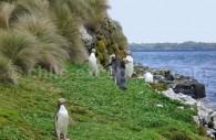Enderby, îles Aukland – manchots à oeil jaune. ©Twiddleblat