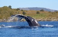 Une baleine à bosse dans le Parc Francisco Coloane