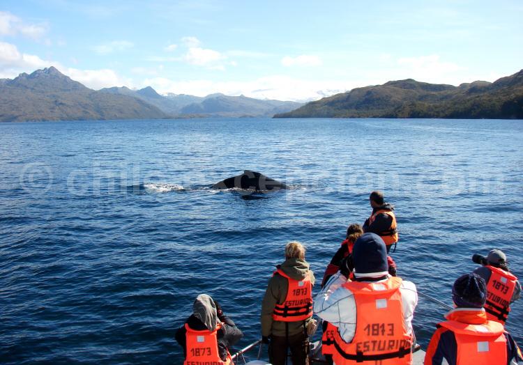 Rencontre avec une baleine dans le Parc Francisco Coloane