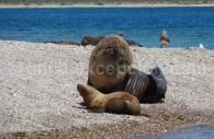 Un couple de lions de mer prend le soleil en Patagonie