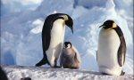 Faune Antarctique, Manchots Empereurs. Crédit Franck Todd
