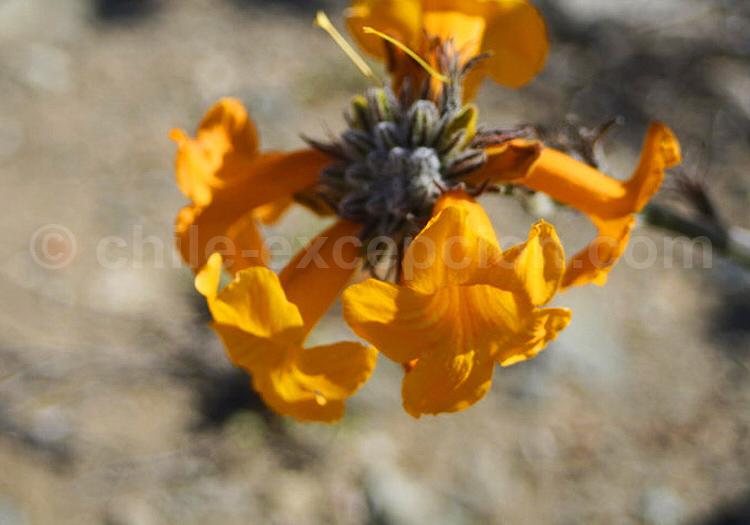Flor del Jote © Ercio Mettifogo