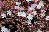 Frankenia chilensis - crédit Pascale Pengam