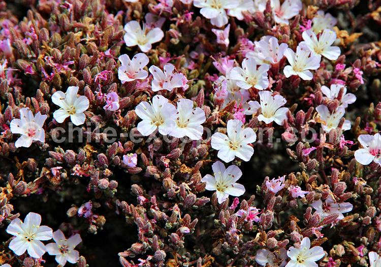 Frankenia chilensis © Pascale Pengam