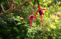 Fuchsia de Magellan - crédit Pascale Pengam