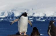 Manchots papous sur la côte antarctique