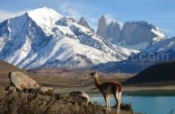 Guanaco, Parc Torres del Paine, Crédit Alejandro Gabriel Alonso